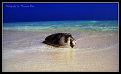 (Mohamed.Ahsan) Tags: sea fish dead sand looking sony wave dry burn thinking puffer lying maldives alpha100 mywinners shmpoo mohamedahsan