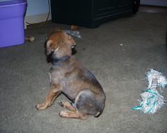 Buster (muslovedogs) Tags: dogs puppy mastiff rottweiler zeusoffspring myladyoffspring