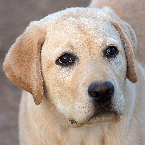 yellow Labrador closeup