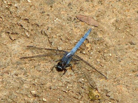 blue-tailed dragonfly nAmada chilume 050408