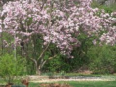 home magnolia floweringtree