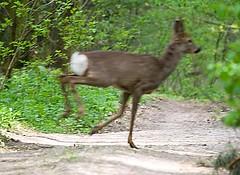 Roe Deer; Capreolus capreolus
