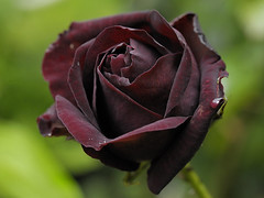Louis XIV (Britta's photo world) Tags: china plant black rose bud britta blackrose louisxiv 60mmf28dmicro niermeyer abigfave llovemypic tbfsrosescontestaug08