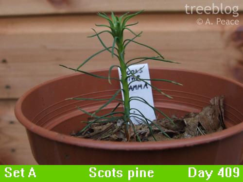 Scots pine gamma