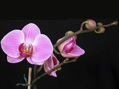 Phalaenopsis (yoel_tw) Tags: orchid orchids phalaenopsis naturesfinest   abigfave diamondclassphotographer flickrdiamond goldstaraward awesomeblossoms lenscraft