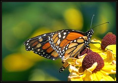 IMG_9931 Profile in Courage 8-18-16 (arkansas traveler) Tags: butterfly monarchbutterfly bichos bugs insects flowers rudbeckia blackeyedsusans nature naturewatcher natureartphotography bokeh bokehlicious zoom telephoto