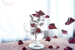 Fluidez (Kathy Chareun) Tags: flores flowers flor flower rose rosa roses rosas red rojo rouge blood sangre nature naturaleza move movimiento petalos light luz window ventana table mesa wind viento blanco white glass vidrio muerte death