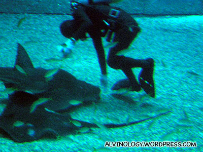 Some of the stingrays prefer to eat on the seabed