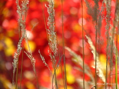 Fall grasses (clickclique) Tags: autumn trees red brown fall grass yellow seeds canons3is