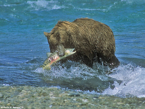 Brown Bear Boar (Grizzly Bear) with Dog Salmon catch