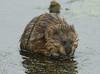 Muskrat Love (martytdx) Tags: june mammal rodent furry nj capemaypoint capemay muskrat rodentia ondatrazibethicus explore8 specanimal ondatra june2007 exploretopten cricetidae hearmansvisit