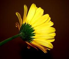 Shy Yellow Flower (icountryman) Tags: yellow shy yellowflower chrysanthemum nov11 mywinners theperfectphotographer