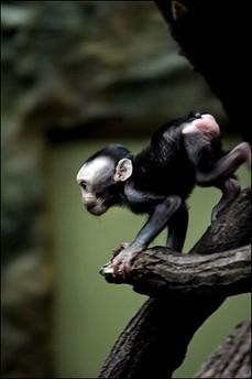 Primer mono clonado Tetra