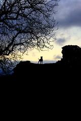 The Hound of Dryslwyn! (annicariad) Tags: wales cymru wfc anawesomeshot annicariad welshflickrcymru