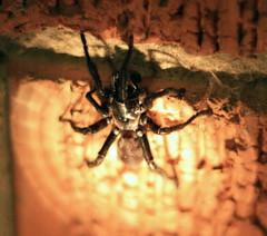 California Trap Door Spider (Keiva) Tags: hairy black halloween spider scary legs fear 8 tarantula fears 8legs californiatrapdoorspider