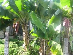 Banano de jardn (IDIAY) Tags: merrychristmas feliznavidad liveandletlive