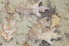 """camoufoliage"" (Mingfong) Tags: autumn fall texture wisconsin leaf ground arboretum foliage story madison albumcover stories    mingfong musicflyer mingfongjan camoufoliage artbrochure sketchoflight mingfongphotography"