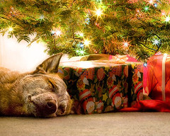 Cattle Dog for Christmas (zingpix) Tags: usa dog dogs jeff washington all cattle  australian explore rights queensland jeffrey australiancattledog reserved heeler acd redheeler blueheeler allrightsreserved zingpix jeffjaquish jaquish jeffreyjaquish