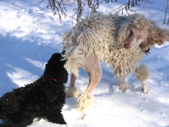 leggo my tail (Foxxy & Baldr) Tags: snow puppy cords nh londonderry 12weeksold standardpoodle baldr foxxycleopatra