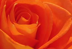 Tangerine (Tiz_herself) Tags: flowers roses orange plants tangerine washingtondc nikon curves macros naturegroup willardhotel excellenceinfloralphotography golddragon diamondclassphotographer flickrdiamond d40x excellentphotographerawards heartawards defendersmacro goldstaraward 52wau2008 52wau2008wk4