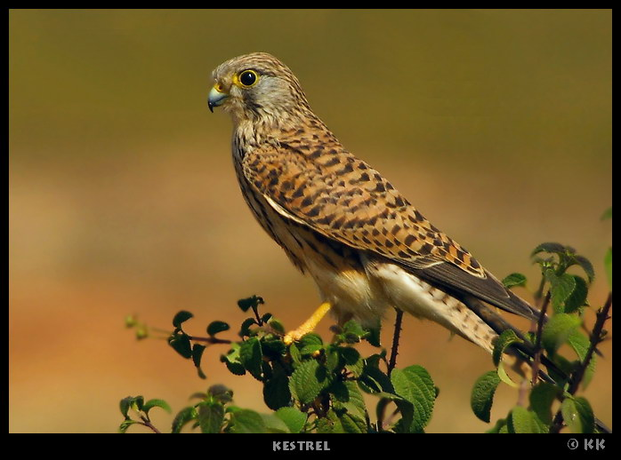 Kestrel Potrait