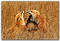 Sweet Nothings....  Red Foxes @ Bombay Hook NWR, DE (10 of 9) (Nikographer [Jon]) Tags: winter red de happy lenstagged nikon jan wildlife january story national fox bombay delaware hook nikkor 2008 mates rejoice bonding refuge redfox nwr vulpesvulpes d300 bombayhook bbh 80400mmf4556dvr vulpes bombayhooknationalwildliferefuge bombayhooknwr nikond300 bombayhooknationalwildliferefugedelaware bhnwr 20080126d30010409 jss20081 imagesforblog1