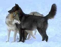 wolf08_pair