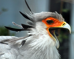 Take a letter... (law_keven) Tags: england birds kent feathers raptors avian birdsofprey feathery secretarybird featheryfriday theunforgettablepictures photoexel