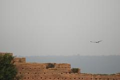 DSC_0298.JPG (tenguins) Tags: africa bird ruins action overcast arabic morocco berber stork rabat chelle siteseeing chella romanruins