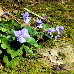 Parc de Maulévrier - Violettes