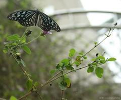butterfly (bR!@n) Tags: taiwan taipeizoo