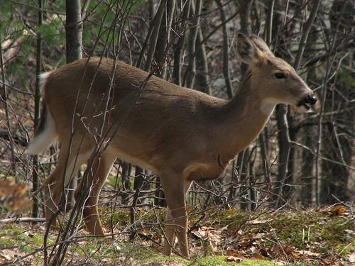 Gatineau deer
