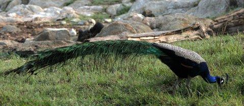 horizontal pic of peacock 270408
