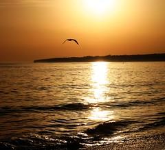 VOLANDO HACIA EL SOL (LA CAPITANA) Tags: sol atardecer puestadesol gaviota colordorado