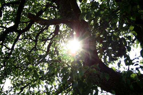 der alte Birnenbaum in Mama´s Garten