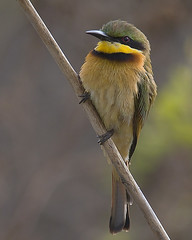 Abelharuco-dourado / Little bee-eater (Antnio Guerra) Tags: nature birds searchthebest natureza aves gambia digiscoping soe birdwatcher the naturesfinest littlebeeeater meropspusillus avianexcellence goldwildlife goldstaraward