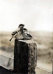 Pair of young Shrikes or Butcher-birds (OSU Special Collections & Archives : Commons) Tags: family bird love snuggle sweet feathers mother care shrike flickrhome prettybirds osuarchives williamlfinleymanuscriptcollection commons:event=commonground2009 dc:identifier=archives233