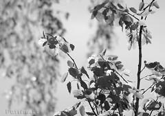 Spring Light - B&W 1 - green channel (PuffinArt) Tags: trees light sun sunlight folhas luz sol blackwhite nikon sigma os apo puffinart grayscale arvores pretoebranco greyscale d300 treeleaves greenchannel vandamalvig 120400 sunlightontreeleaves