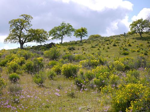 goldenbush, shooting stars & oaks