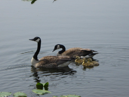 Geese and goslings by umlud