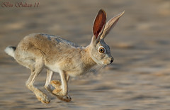 Arabian hare -in Qatar     () Tags: wild rabbit speed hare desert bin sultan arabian  qatar