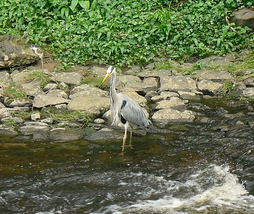 Heron in Water of Leith
