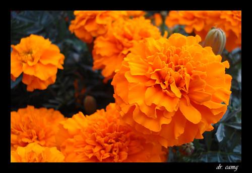 Cempoalxóchitl... flor de muerto.
