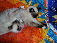DSCI0131 (phildingo) Tags: cute furry adorable fluffy siamese kittens cuddly himalayan zeek finnian burmin