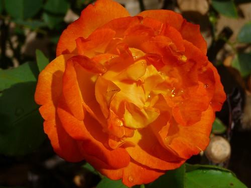 rose-1120053