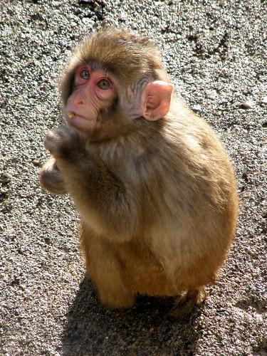 ニホンザル(赤ちゃん) │ 動物 │ 無料写真素材