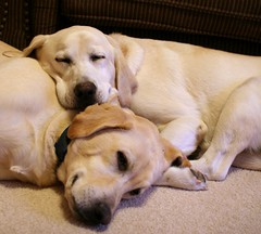 True friends (suzalayne) Tags: friends sleeping pets max dogs yellowlab brothers explore labradorretriever 20 sirus