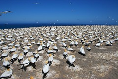 Gannet Colony (Heaven`s Gate (John)) Tags: newzealand nature birds landscape southisland hastings napier avian gannets capekidnappers 10faves johndalkin heavensgatejohn
