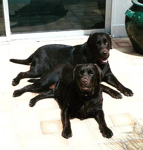 chocolate labradors - Spike and Coco