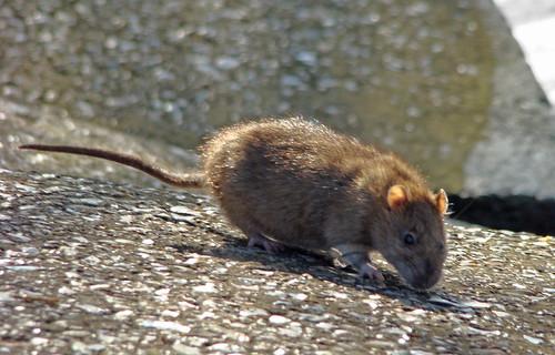 souris de l'eau